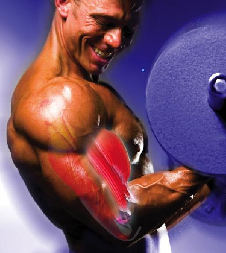 Jonathan Lawson muscle fiber illustration - The 4X Get-Bigger Trigger